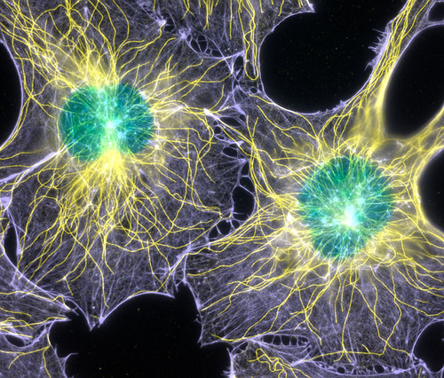 Стволовые клетки после перепрограммирования имеют «генетические шрамы» и могут провоцировать рак