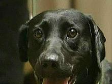 Собаки могут диагностировать рак, показали исследования