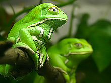 Выделения лягушек позволяют сделать рак, не смертельным, а хроническим заболеванием