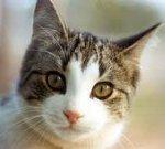 Опасные «мурлыки»: паразиты из кишечника кошек могут вызывать опухоли мозга у людей