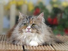Рак мозга вызывают кошки, уверены специалисты