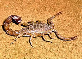 Ядом скорпиона лечат рак