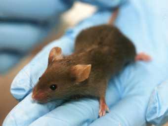 Американские ученые научились лечить от рака мышей