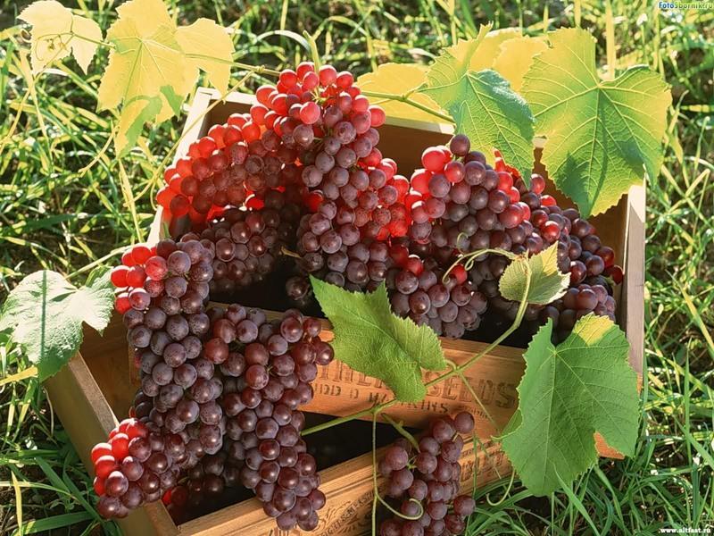 Виноградные косточки против рака