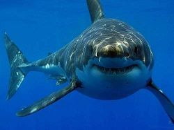 Рак кожи помогут вылечить акулы
