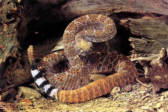 Ученые из Бразилии выделили белок из яда гремучей змеи, необходимый для лечения рака кожи