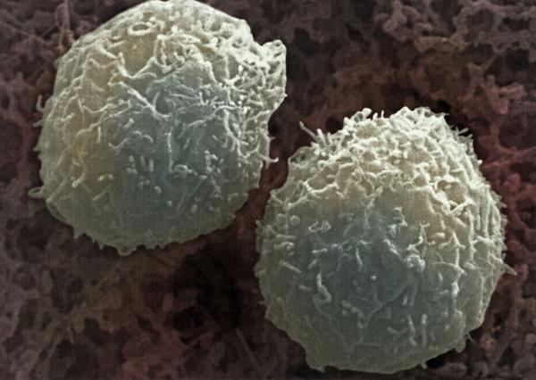 Иммунитет защищает повторные злокачественные опухоли