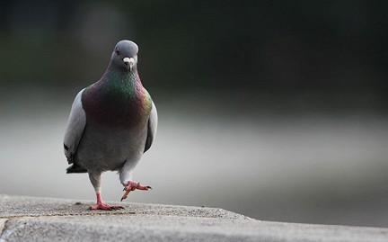 Болезни птиц помогут излечить рак