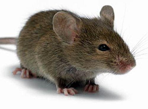 Создана мышь не болеющая раком