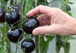 Черные томаты помогут предотвратить рак