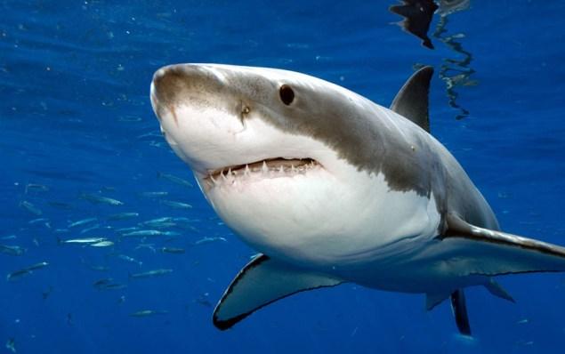 Сенсация: кровь акулы спасает от рака
