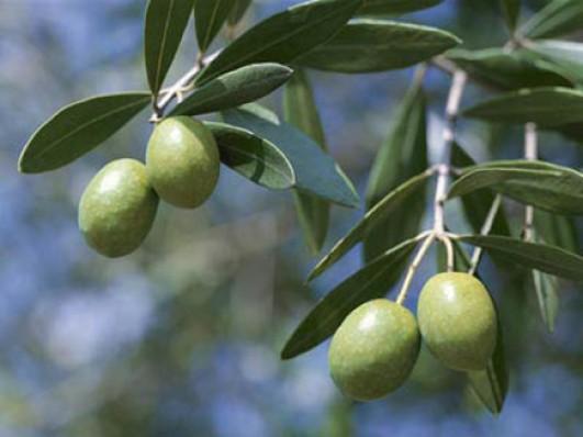 В листьях оливы найдено мощное средство от рака