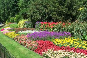 Интересные цветы для дачи:изящные мотыльки клеомы