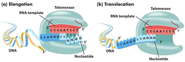 Теломераза и онкогенез