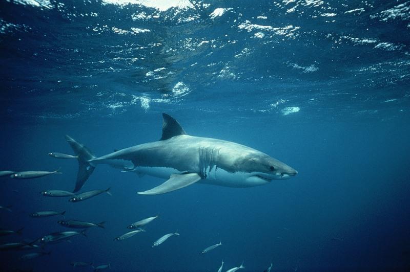 Ученые собираются лечить рак груди кровью акул