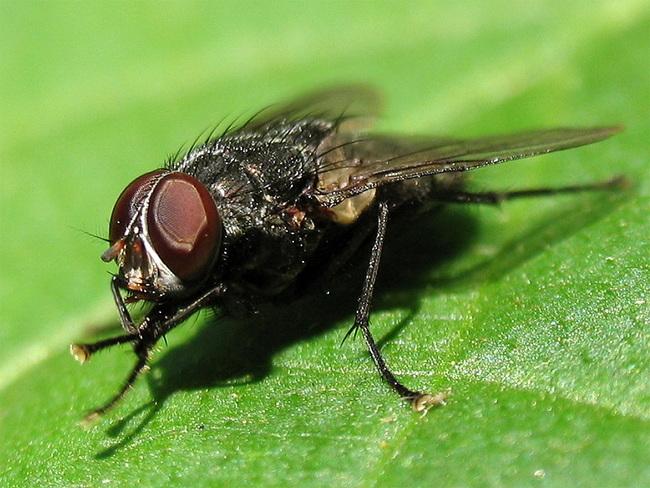 На что слетаются мухи? Оказывается, на рак!