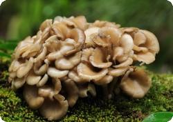 Майтаке: гриб, который помогает бороться с раком