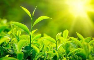 Открыта способность чая разрушать раковые клетки