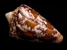 Яд моллюсков поможет справиться с раком и никотиновой зависимостью