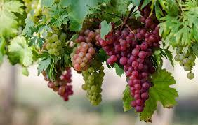 Виноград. Кладезь полезности