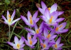Цветки прекрасных крокусов – источник веществ с противоопухолевой активностью