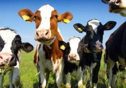 Сырое коровье молоко и говяжий стейк — причина развития рака груди?