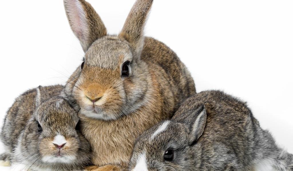 Возбудитель заболевания кроликов эффективен против рака