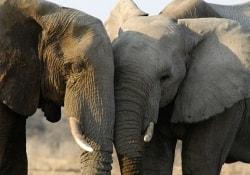 Почему слоны не болеют раком: разгадка этой тайны пригодится человечеству