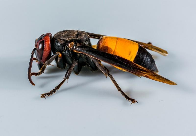 Ученые: яд бразильской осы убивает раковые клетки, не затрагивая здоровые ткани