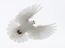 Онкологи научили голубей распознавать опухоли молочной железы