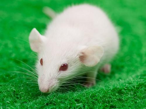 Новое лекарство против меланомы было протестировано на мышах