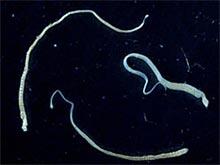 Зафиксирован первый случай рака, вызванный мутациями паразита