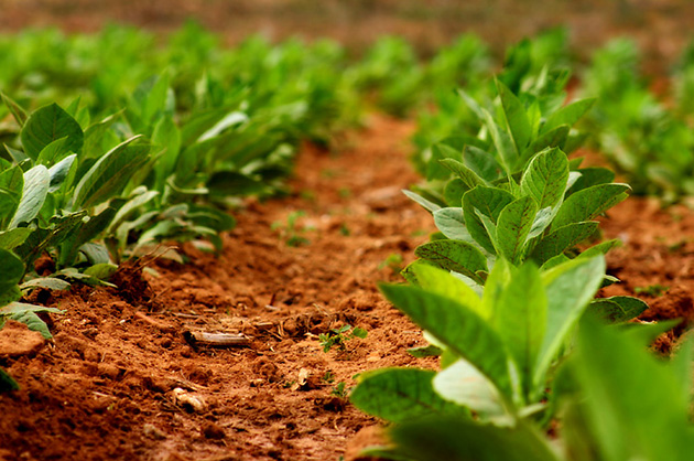 Ученые нашли в цветке табака механизм борьбы с раком