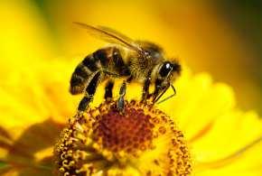 Пчелиный яд в борьбе с раком