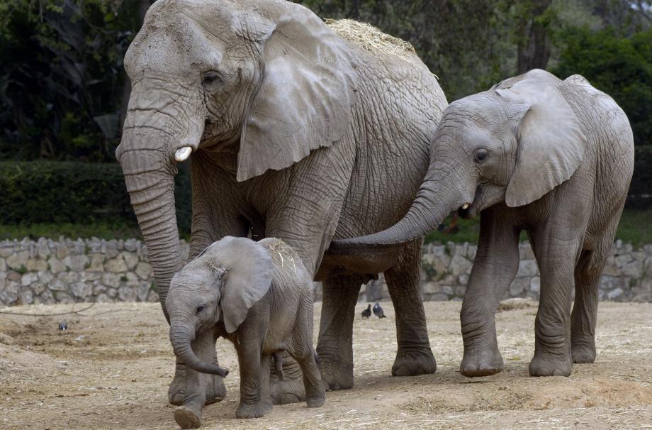 Понять, как предотвратить рак, помогут слоны