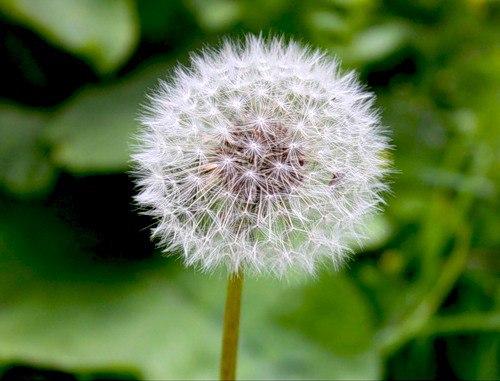 Корень этого растения эффективнее химиотерапии