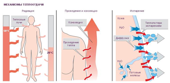 Терморегуляция тела человека