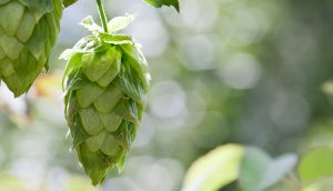 Пиво защищает женщин от рака груди