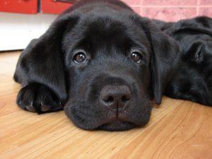 Собаки способны диагностировать рак