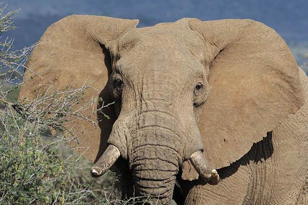 ДНК слонов может помочь ученым лечить рак у людей