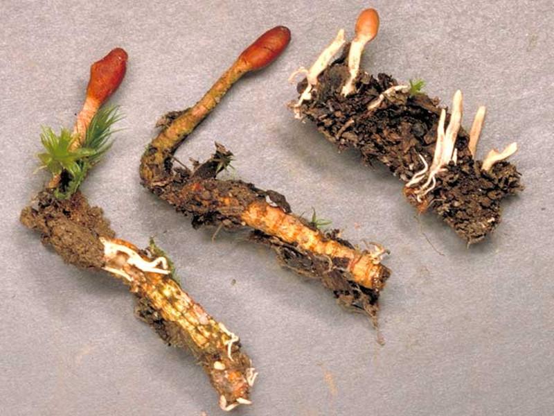 Синтетическая версия уникального гриба защищает от рака не хуже оригинала
