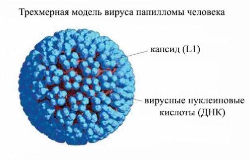 Вирус папилломы человека: скрытая инфекция, которую необходимо вылечить