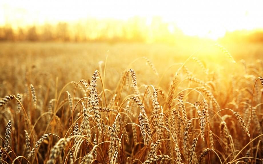 Пшеница снижает риск развития рака груди