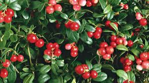 Чем полезна таежная ягода брусника?