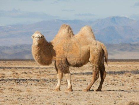 Верблюжья кровь поможет победить рак