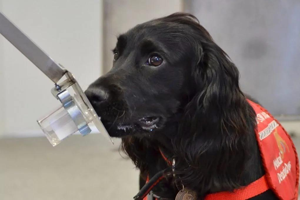 Собаки могут нанюхать рак