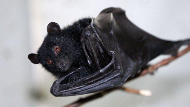 В останках летучих мышей обнаружен «предок» лейкемии