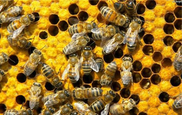 Лечебные свойства пчел