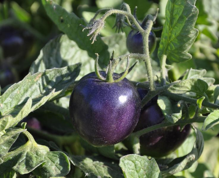 Победить рак помогут фиолетовые помидоры
