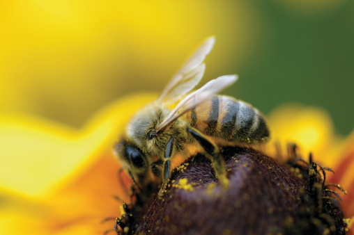 Пчелиный яд может оказаться лекарством от рака